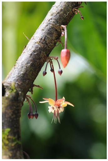 flor cacao