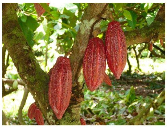 Fruto cacaotero - maraca
